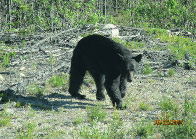 WildLife Black Bear - Northern Saskatchewan Fishing (Mawdsley Lake Fishing Lodge)